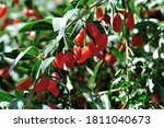 Goji Berry Fruits And Plants In ...