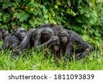 Group Of Bonobos On Green...
