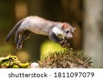 Stone marten, Martes foina, with clear green background. Beech marten, detail portrait of forest animal. Small predator sitting on the beautiful green moss stone in the forest. Wildlife scene, France