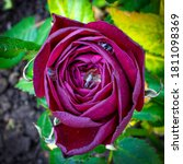 A Blooming Red Rose Bud With...