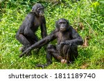 Bonobos On The Grass. Green...
