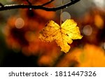 Autumn maple tree leaf light...
