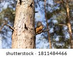 A Red Squirrel Sits On A Tree...