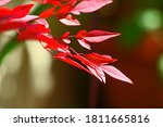 Sunlight On Red Leaves Of A...