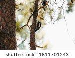 Small Woodpecker Prepared To...