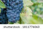 macro of bunch of ripe blue... | Shutterstock . vector #1811776063