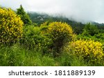 Yellow Gorse Bushes In The...