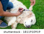 Small photo of Man cuts the matted fur of an adult Golden Retriever with scissors while it sleeps. The concept of pet care and grooming of animals and the consequences of improper and untimely combing of dog's fur