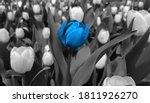 Blue Tulip Against Black And...