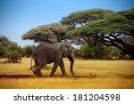Elephant Walking Through The...