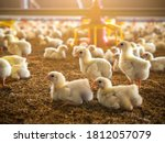 The Little Chickens In The...