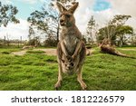 Kangaroo In Melbourne With Blue ...