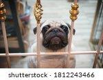 Pug Dog In A Cage. Pug Dog...