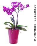 purple orchid in a pink pot ... | Shutterstock . vector #181235699