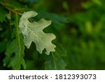 Close Up Of Reen Oak Leaf....