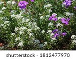 Purple Verbena And White...
