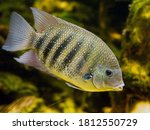 Green Chromide Fish In The...
