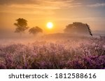 Blooming Heather Field In The...