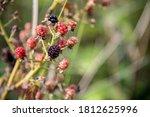 Blackberry  Rubus Fruticosus  ...