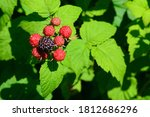 Blackberries Ripen And Are Also ...