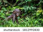 Portrait Of Bonobo Cub. Green...