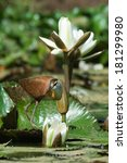 Small photo of A young African Jacana (Actophilornis africanus) standing amongst white flowering lilies