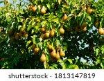 Many Juicy Ripe Yellow Pears...