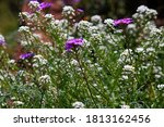 Purple Verbena And White Sweet...