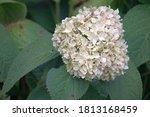 A Hydrangea Flowerhead With...