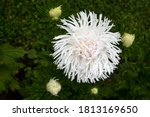 The White Aster On A Green...