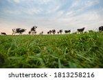 Holland Milk Cows Feeding In...