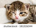 Stock photo cute brindle kitten watch from letty 181326344
