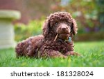A Miniature Poodle Puppy Lying...