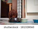 A Miniature Poodle Puppy Eatin...