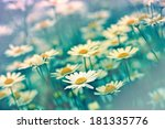 Spring Daisy In A Meadow