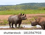 Two White Rhinos Standing In...