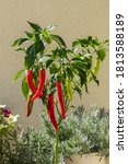 Long Hot Peppers On A Bush. The ...