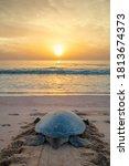Turtle On The Beach At Ras Al...