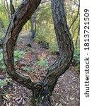 Clover Shaped Pine Tree...