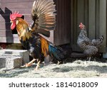 Nice Rooster Spreading His Wings