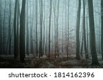 Mysterious Foggy Forest. Beech...