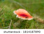 Insect Sitting On Russula...
