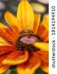 Yellow Rudbeckia Flower Close...