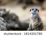 A Meerkat Guard Observing The...