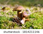 Forest Edible Mushrooms In The...