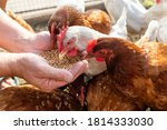 The farmer hand feeds his hens...