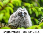 A Small Long Eared Owl Sits On...