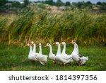 White goose. swimming geese....