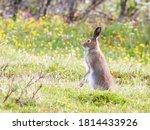 The mountain hare  lepus...