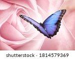 Amazing Common Morpho Butterfl...